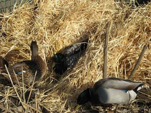 Осенний охотничий трофей - утка - Рыболовная база
